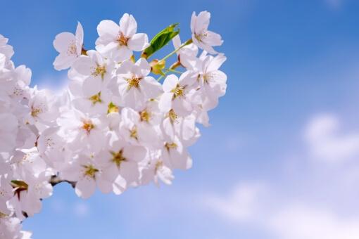 鶴舞公園のお花見2018!駐車場や場所取りまとめ