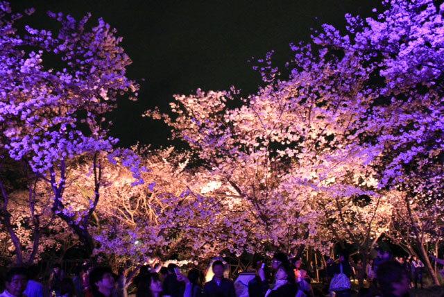 舞鶴公園のお花見2018!場所取りは必要?ライトアップの時間も