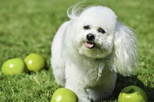僕とシッポと神楽坂の犬種ビションフリーゼの性格や値段は?